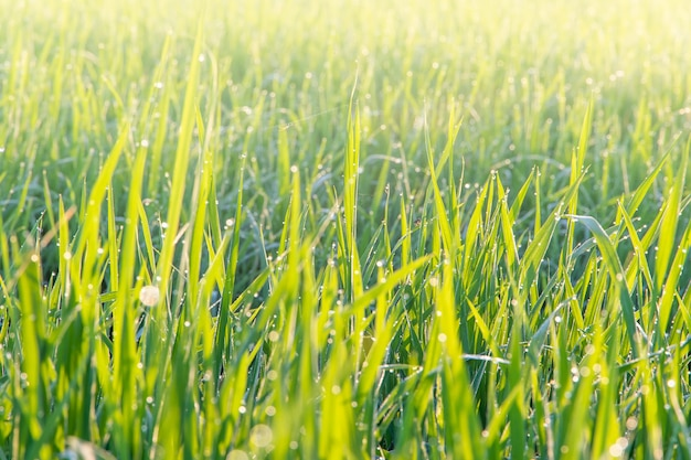 Vista de cerca del campo de arroz jazmín orgánico de crecimiento en la mañana en el campo en tailandia, desenfoque de fondo