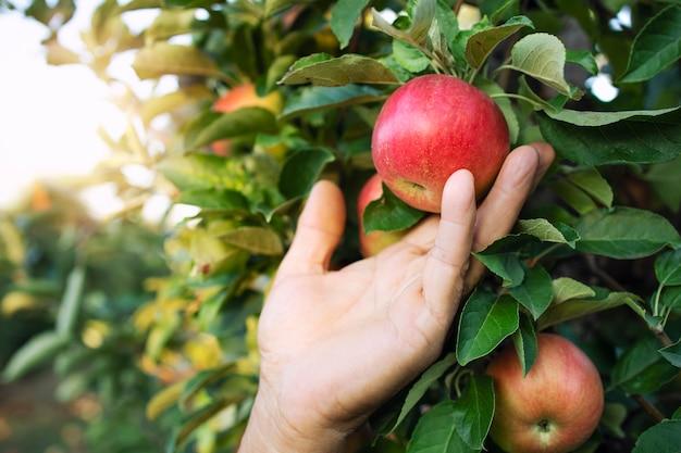 Vista de cerca de la mano de los agricultores recogiendo manzana en huerto de frutas