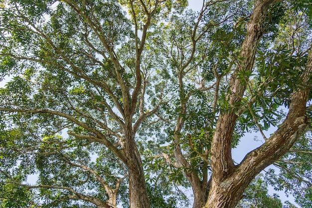 Vista de las copas de los árboles en el bosque de la selva en un día soleado, isla de zanzíbar, tanzania, áfrica