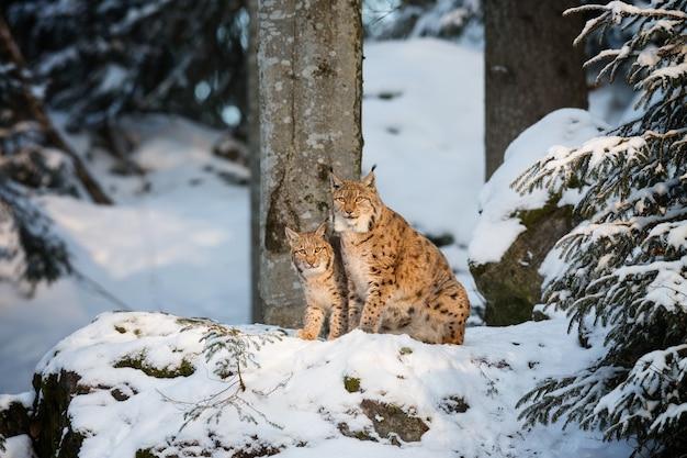 Vista de curiosos gatos monteses en busca de algo interesante en un bosque nevado en un día helado