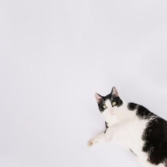 Vista elevada del gato lindo que miente en el fondo blanco