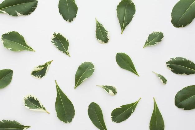 Vista elevada de hojas frescas aisladas sobre fondo blanco