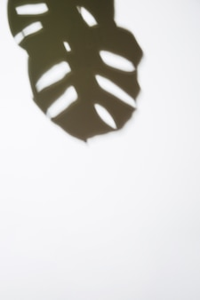 Una vista elevada de las hojas oscuras de monstera sobre fondo blanco