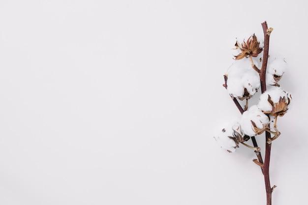 Vista elevada de la ramita de algodón sobre fondo blanco