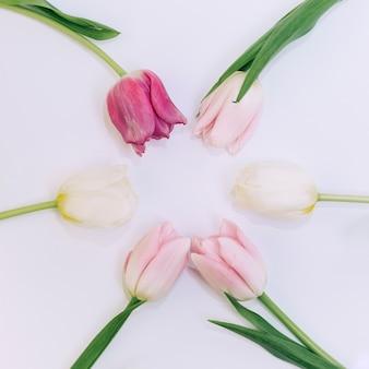 Vista elevada de tulipanes dispuestos sobre fondo blanco