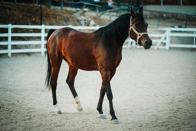 Vista de enfoque superficial de un caballo marrón con un arnés caminando sobre un suelo arenoso