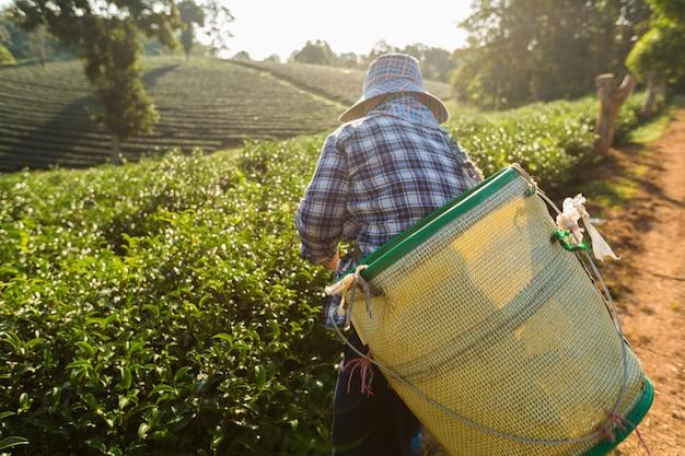 Vista escénica de las mujeres campesinas de asia, que estaban recogiendo hojas de té para las tradiciones en la mañana del amanecer en la naturaleza de las plantaciones de té