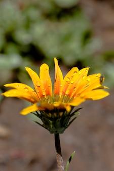 Vista de una flor del gazania en el jardín cubierto con las gotitas del agua.