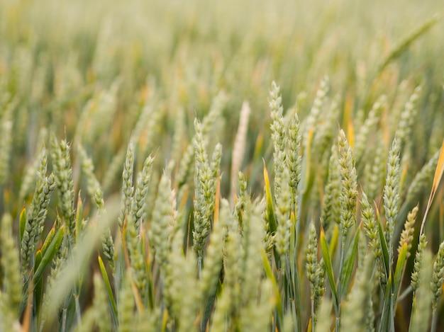 Vista frontal del campo de trigo close-up