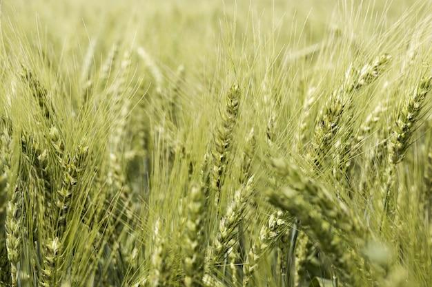 Vista frontal del campo de trigo