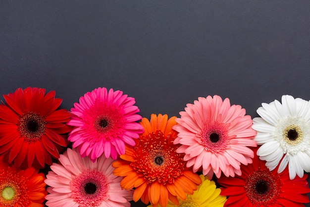 Vista frontal de flores de gerbera sobre fondo negro