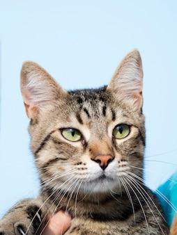Vista frontal gato doméstico con orejas picadas
