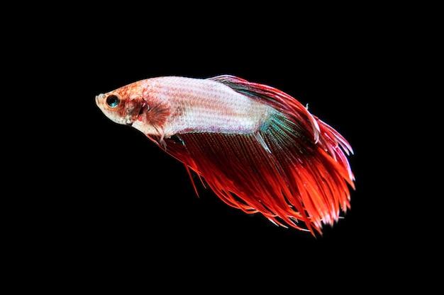 Vista frontal hermoso pez betta aislado fondo negro