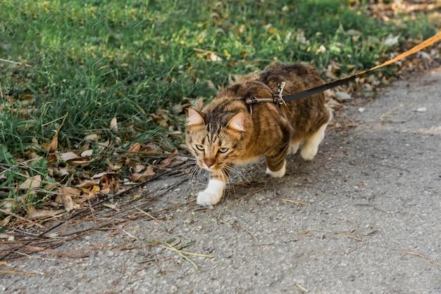 Vista frontal del lindo gato atigrado con collar caminando en la calle