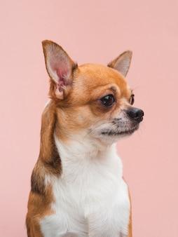 Vista frontal lindo perrito chihuahua con orejas alerta mirando a otro lado