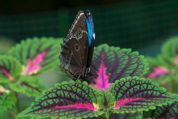 Vista frontal de la mariposa azul en la hoja