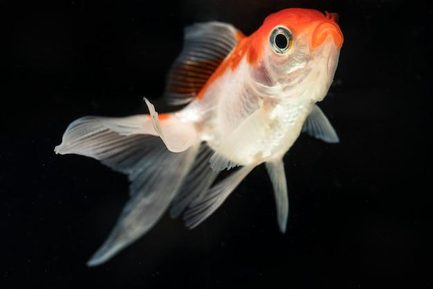 Vista frontal orgulloso dumbo betta splendens lucha contra peces