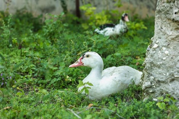 Vista frontal patos caminando en la naturaleza