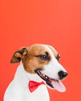 Vista frontal del perro con lengua afuera y lazo rojo