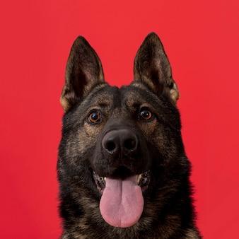 Vista frontal del perro con la lengua fuera sobre fondo rojo.