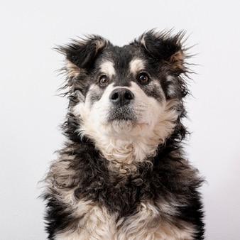 Vista frontal del perro peludo sobre fondo blanco.