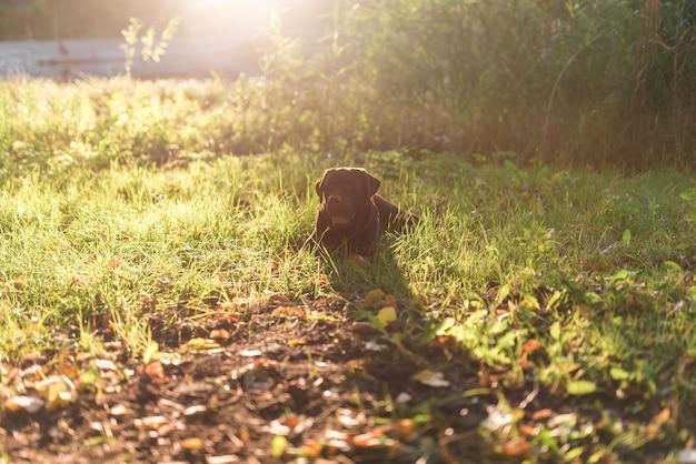 Vista frontal del perro tirado en el pasto en el parque