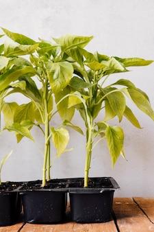 Vista frontal de las plantas jóvenes.