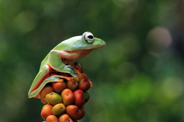 Vista frontal de la rana arborícola de java en fruta naranja