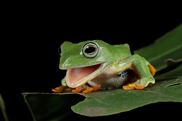 Vista frontal de la rana arborícola de java en hoja verde