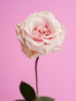 Vista frontal de rosa delicada fresca