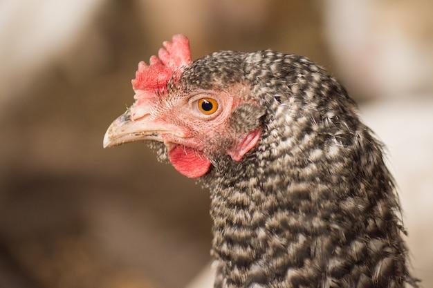 Vista de gallo gallo con peine rojo