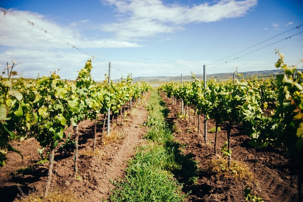 Vista del hermoso viñedo verde en la región de moravia del sur durante el día