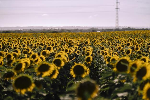 Vista horizontal de hermosos campos de girasoles en un buen día