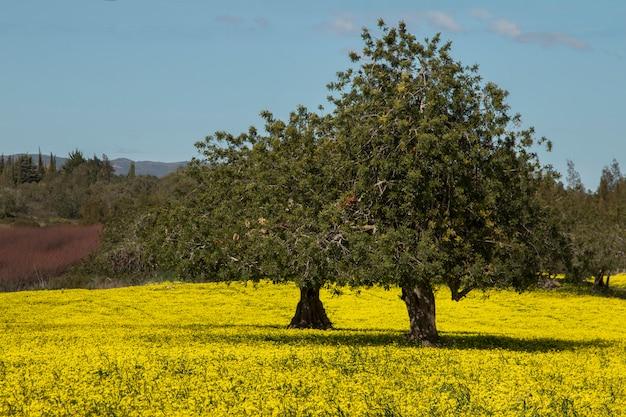 Vista de una huerta de algarrobo en un campo de flores amarillas en el campo de portugal.