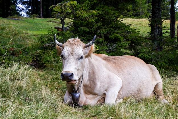 La vista idílica de dos vacas marrones que pastan en pasto verde coloca la hierba fresca en día soleado brillante. agricultura y agricultura.
