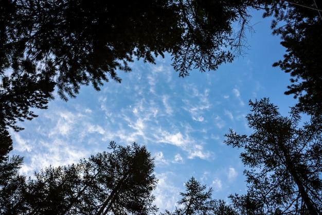 Vista inferior del cielo despejado a través de crones de coníferas