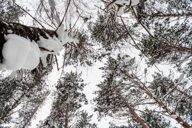 Vista inferior a las copas de los pinos nevados en día nublado.