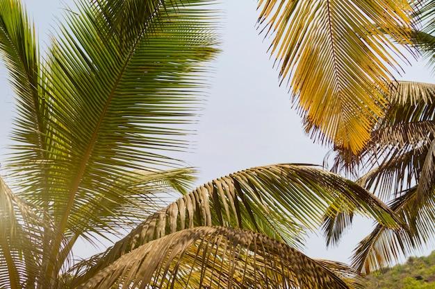 Vista inferior hojas de palmera de coco, luz solar tonificada