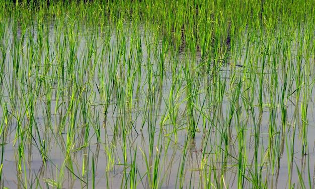 Vista de jóvenes plantas de arroz verde brotan en el campo