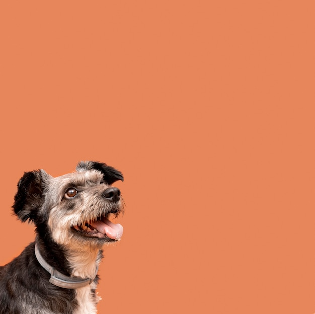 Vista lateral del adorable cachorro de raza mixta mirando hacia arriba con espacio de copia