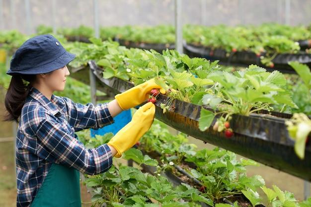 Vista lateral de la agricultora cosechando fresa en un invernadero comercial