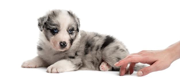 Vista lateral de un cachorro mestizo y una mano humana jugando aislado en blanco