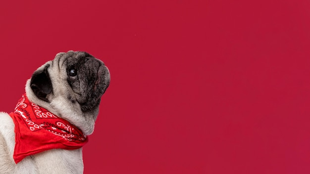 Vista lateral del cachorro de pug mirando hacia arriba con espacio de copia