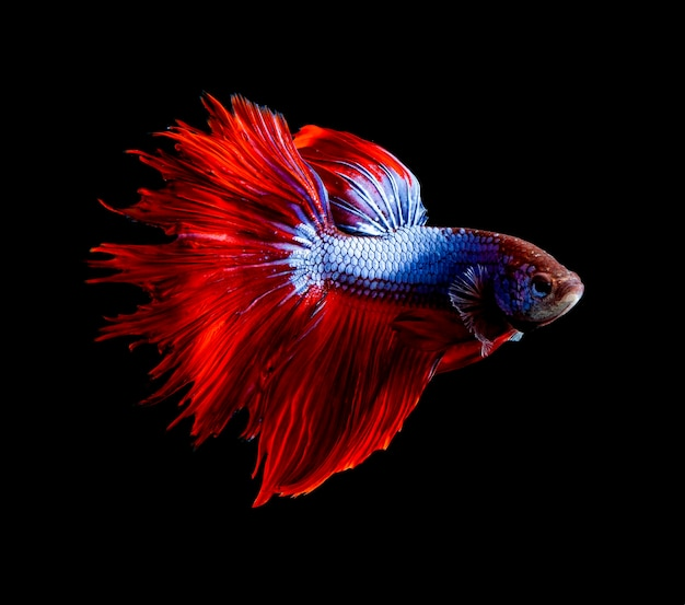 Vista lateral, cuerpo completo, de, rojo, aleta, siamés, betta, pez, en, fondo negro
