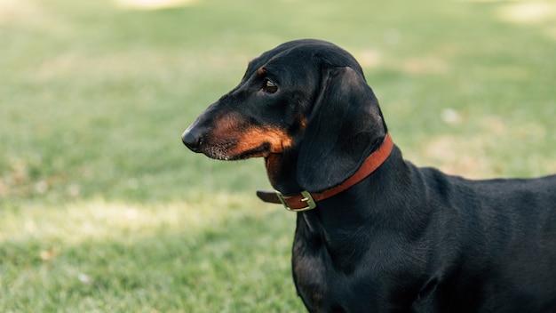 Vista lateral de dachshund al aire libre