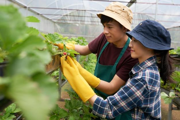 Vista lateral de dos jóvenes agricultores que cultivan fresas en un invernadero
