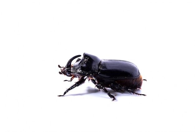 Vista lateral del escarabajo rinoceronte