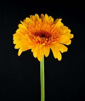 Vista lateral de la flor de gerbera de color amarillo aislada sobre fondo negro