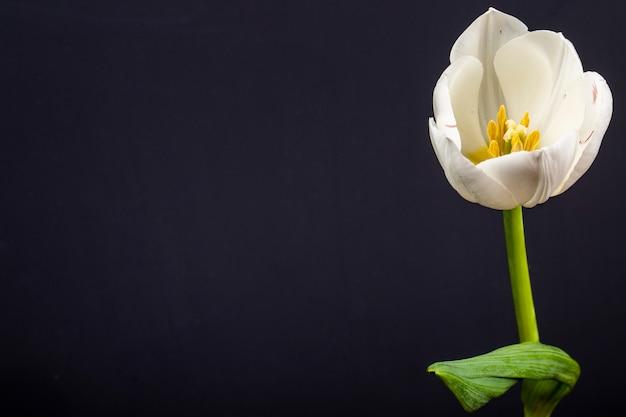 Vista lateral de la flor de tulipán de color blanco aislada en la mesa negra con espacio de copia