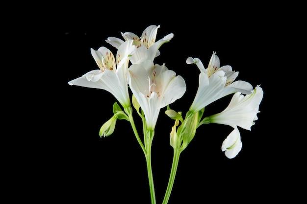 Vista lateral de flores de alstroemeria de color blanco aisladas sobre fondo negro